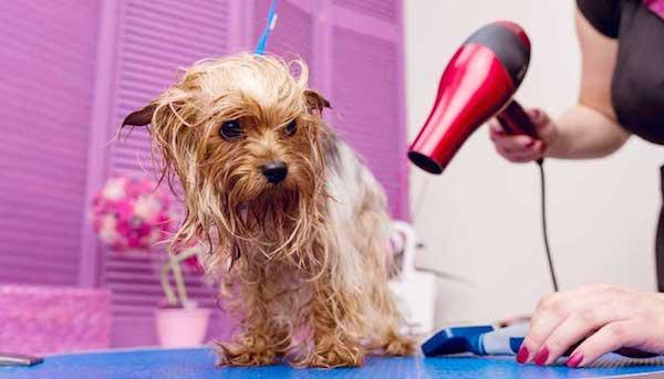 asciugare un cane con il phon