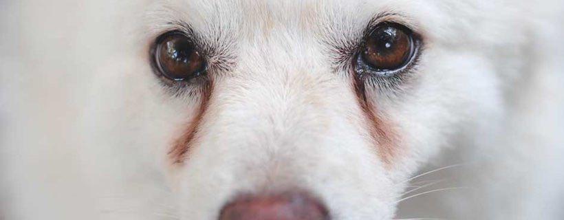 Macchie da lacrimazione nel cane e nel gatto: come contrastarle?